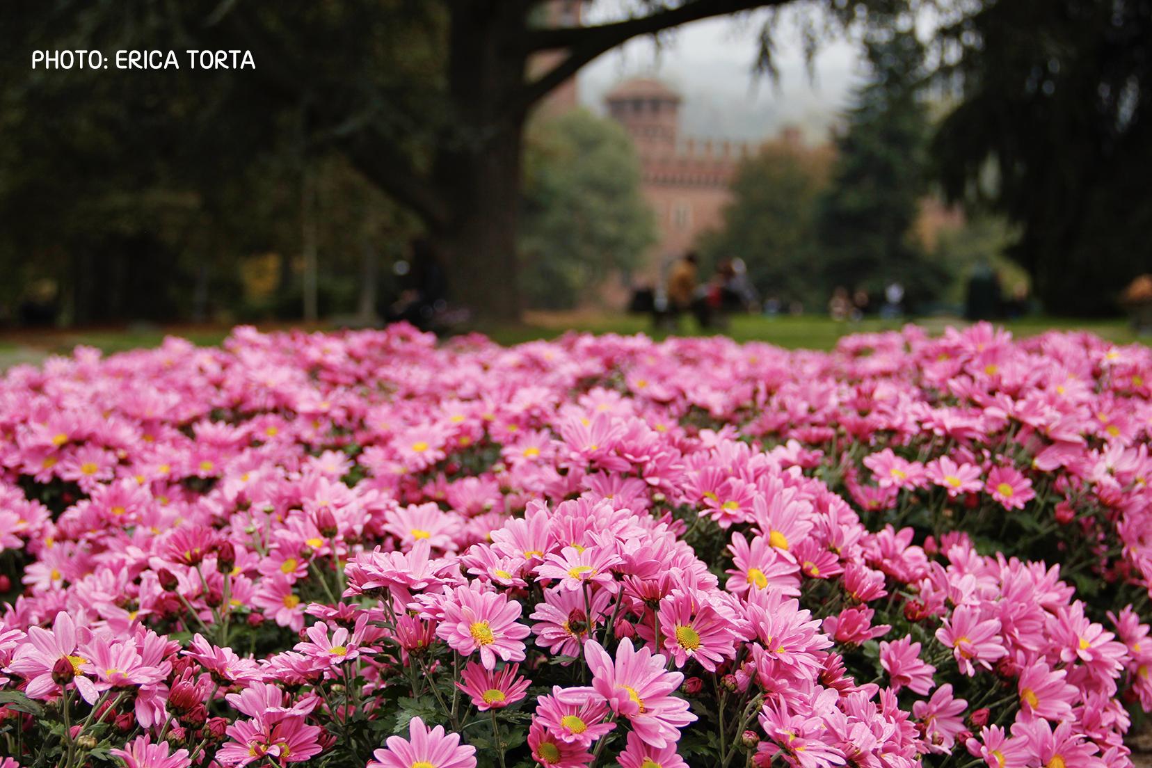Prato con fiori rosa in primo piano